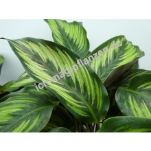 Tropische Pflanzen 4x Mix Calathea in dekorativen K/örben Eldergrass Blue Grass H/öhe 35-40cm MICA korb braun /Ø 14cm Leopardina /& Mauiqueen Inkl